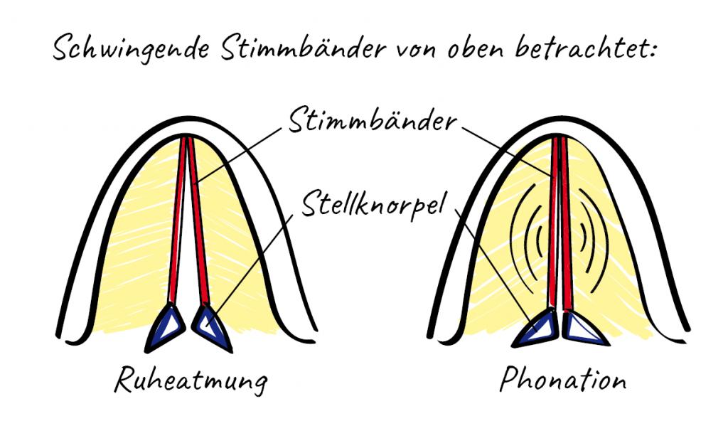 Srimmgesundheit, Stimmbänder in Phonations- und Ruhestellung