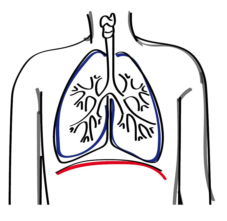 Zwerchfell und Lunge