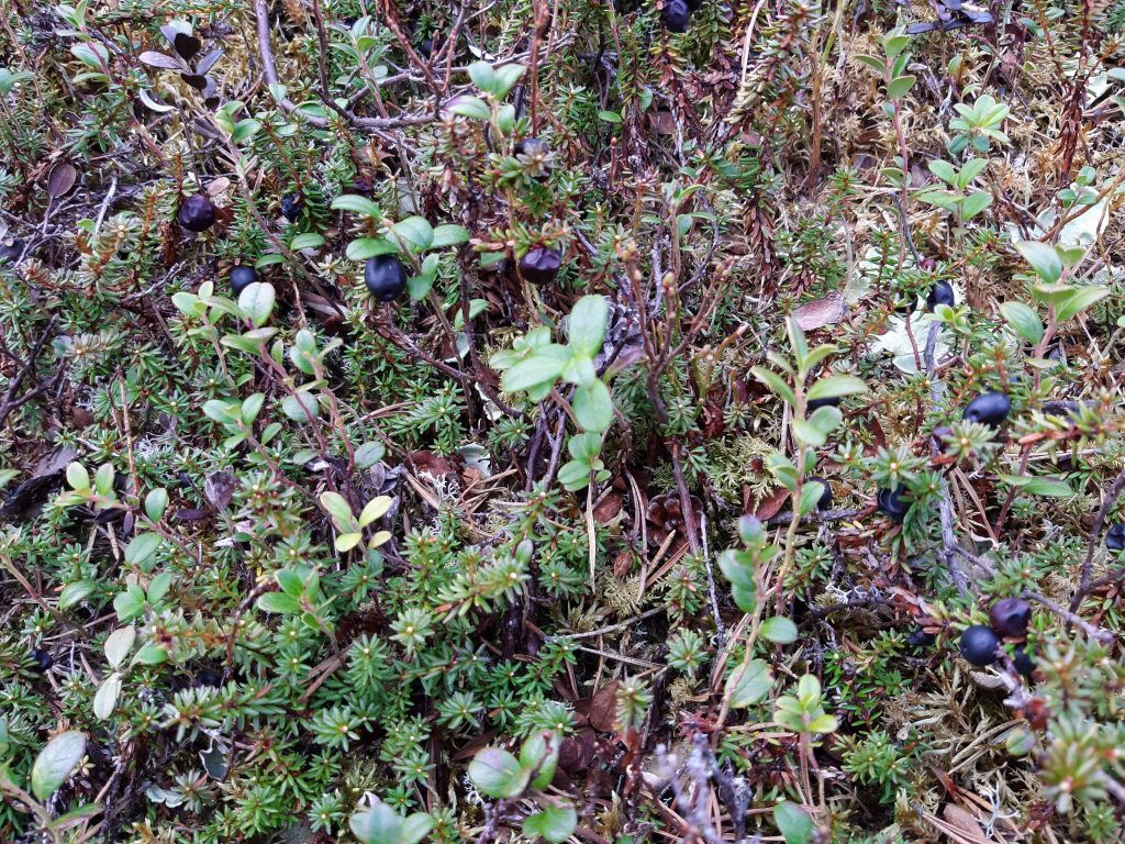 21. Mai - Leben in Lappland, Wachholderbeeren