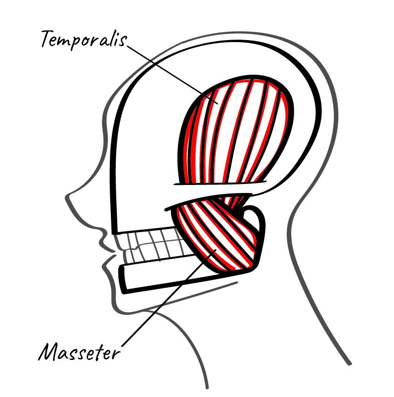 Das entspannte Kiefergelenk, Kiefergelenk und Kaumuskulatur